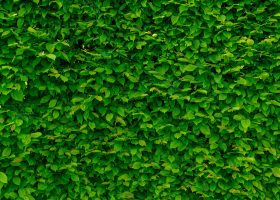 When should overgrown bushes be trimmed